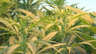 Major investment firm puts money into marijuana